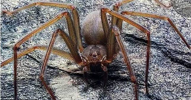 新型劇毒蜘蛛最愛躲家裡!被咬到皮膚恐爛40cm永久留疤