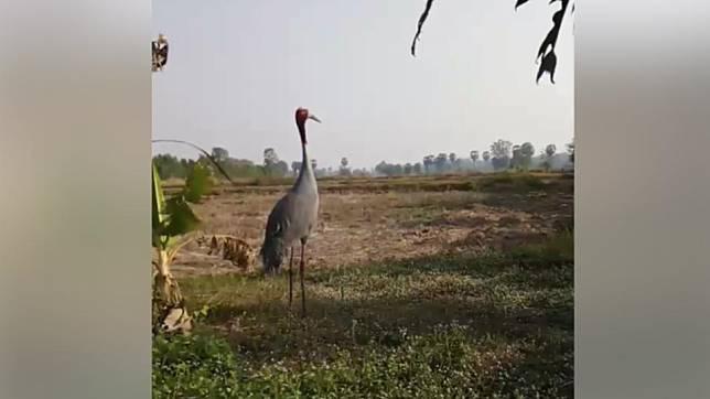 ตื่นตา! นกกระเรียนไทยใหญ่เท่าคน โผล่หากิน ที่บุรีรัมย์