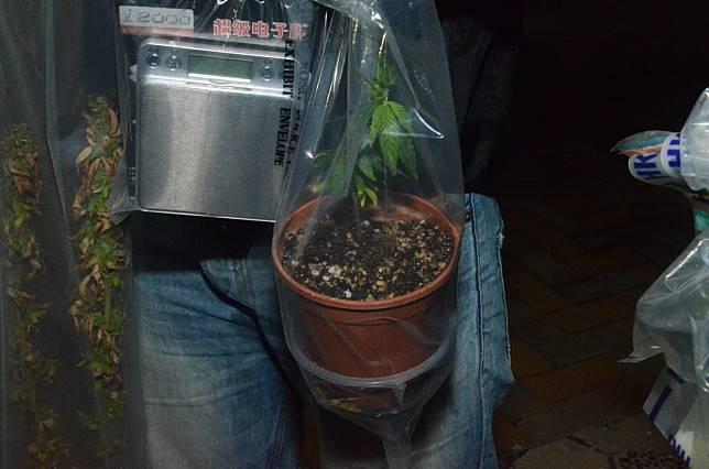 疑似大麻。