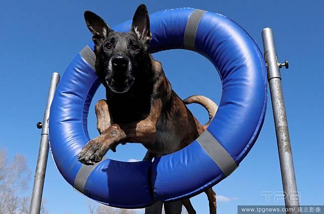 飛躍的牧羊犬