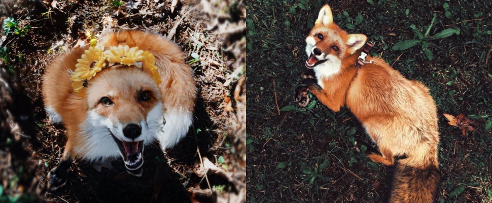超級萌~最愛笑、最可愛的狐狸寵物在這裡!