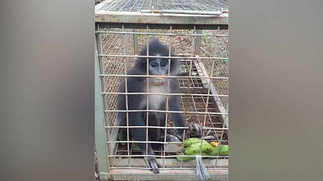 Seekor monyet surili yang berhasil diperangkap di Desa Sukaraharja, Kecamatan Cibeber, Kabupaten Cianjur, Jawa Barat, Jumat 24 Januari 2020. Monyet endemik yang sudah langka ini membuat heboh warga setempat. FOTO DOK BKSDA JAWA BARAT.