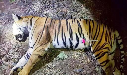 ประชากรเสือถูกล่าปีละมากกว่า 120 ตัว หรือสัปดาห์ละ 2 ตัว MAHARASHTRA FOREST DEPARTMENT / AFP