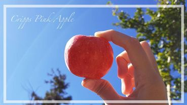 台灣也有採蘋果秘境!台中梨山蜜蘋果季,滿滿鮮紅的蘋果認真太可愛了~