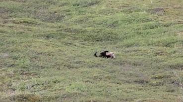 山坡上的灰熊走累了 居然乾脆用 ___ 的下山!