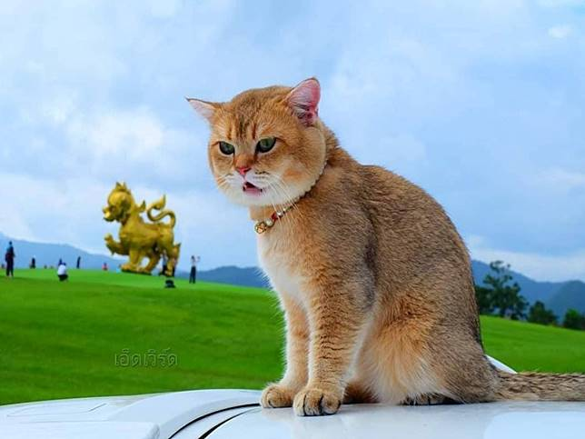 大頭萌貓愛跟主人出遊 個性淡定表情卻很厭世