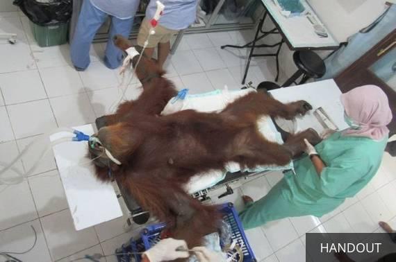 Hope, orangutan yang dihujani 74 peluru.