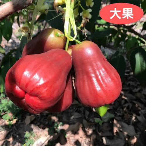 【果然食在】高雄六龜極品黑糖芭比蓮霧 (大果 3台斤)免運