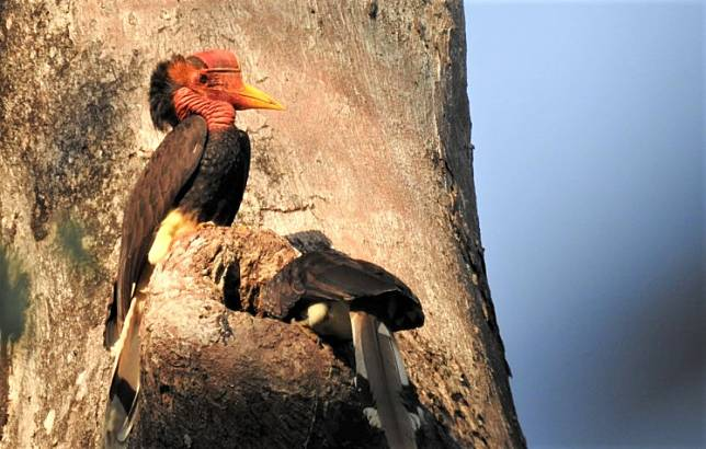 In need of protection: The helmeted hornbill is the most threatened hornbill species in Indonesia.
