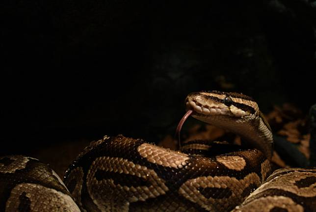 A 13-year-old teenager was found dead after a 4-meter long python wrapped around his body in Serpong district, South Tangerang on Monday.