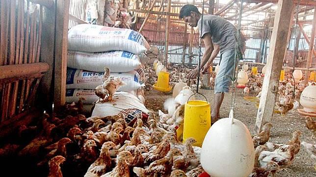 Peternak memberi makan ayam petelur di peternakan ayam kawasan Cilodong, Kota Depok, Jawa Barat, Jumat, 28 Juni 2019. Kementerian Pertanian (Kementan) meminta perusahaan pembibitan ayam untuk memangkas bibit ayam (Day Old Chick Final Stock) ras pedaging, untuk mengatasi kelebihan pasokan di pasar yang menyebabkan harga ayam hidup anjlok di tingkat peternak. ANTARA/Yulius Satria Wijaya/ama.