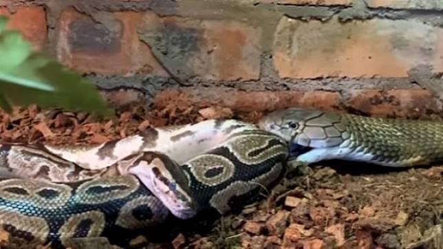 King Kobra Rakus Makan Dua Ular Piton Dalam Satu Kali Makan