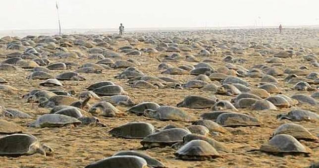 7年來罕見!人類關在家後…印度沙灘出現「超壯觀景象」