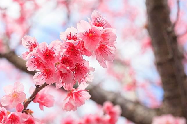 南方的琉球寒緋櫻和當地人一樣,比較熱情,色彩也鮮艷一點。(互聯網)