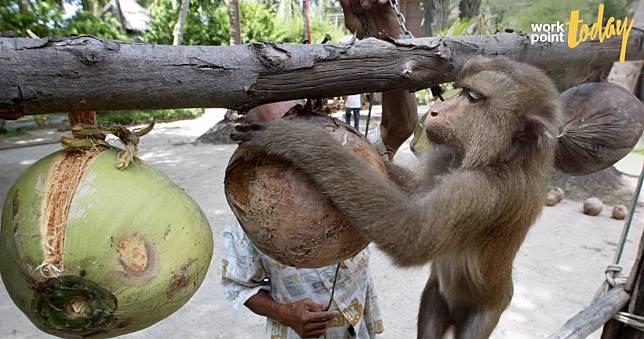 'ลิงเก็บมะพร้าว' ปมร้อนจากองค์กรพิทักษ์สัตว์ สู่ผลกระทบการค้ามหาศาล