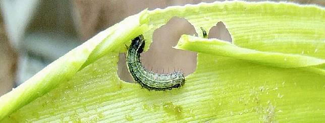 Fall Armyworm. Doc.: FAO Indonesia