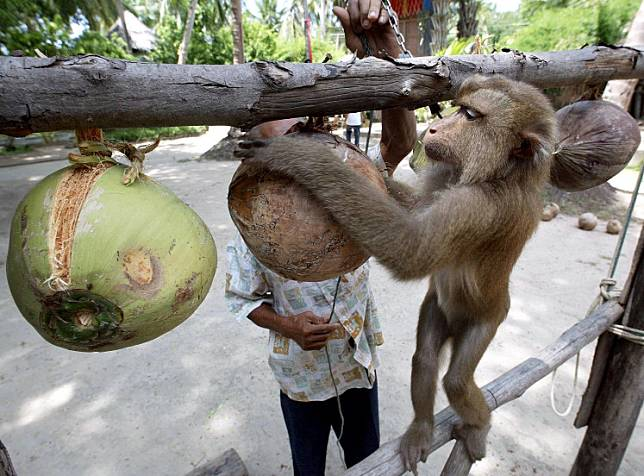 A Thai monkey trainer works with a monkey showing it how to collect coconuts at the Samui Monkey Center on Samui island, July 19, 2003.