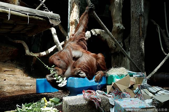 50歲的猩猩阿嬤