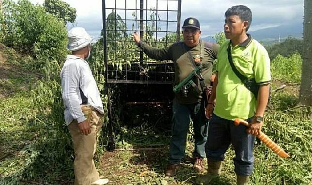 Balai Konservasi Sumber Daya Alam (BKSDA) Sumatera Selatan mengecek kondisi harimau yang masuk perangkap di Kecamatan Semendo Darat Ulu, Kabupaten Muara Enim. Kredit: ANTARA