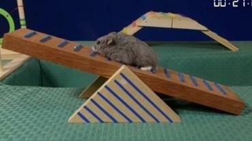 國外網友自製小倉鼠運動大賽 看著兩坨麻糬玩障礙跑也好療癒...