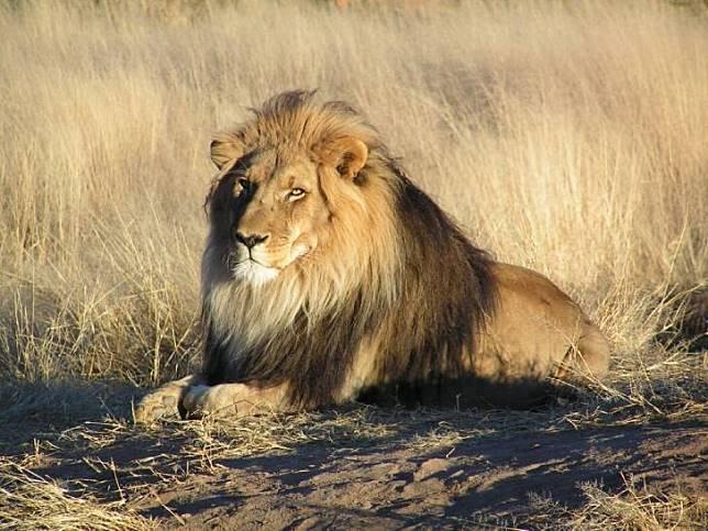 Turis pun bisa melihat singa dengan jarak yang dekat