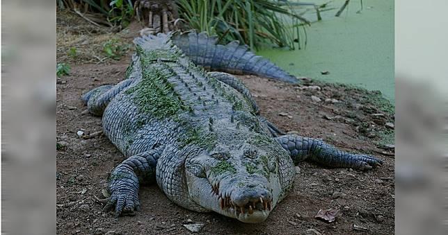 海邊垂釣遭2.8米鱷魚突襲 澳男以手戳眼逃死劫