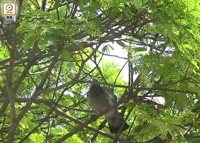東網記者日前巡視鴨脷洲,使用過驅鴿劑後,公園附近的野鴿僅停留在樹上。