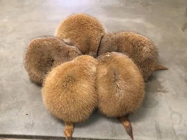 五隻萌生物擠成梅花陣吃飯飯 網笑:什麼祕密集會啦!