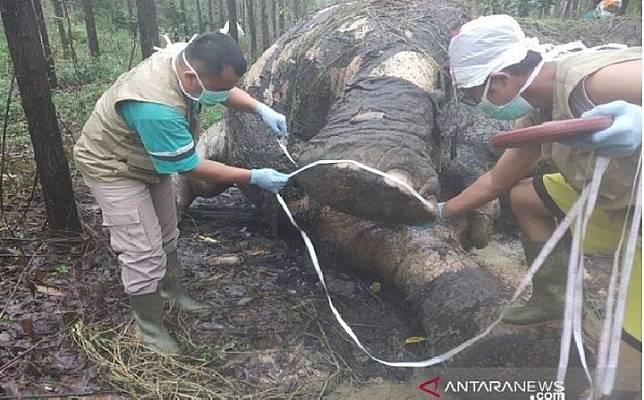 Tim BBKSDA Riau melakukan bedah bangkai atau nekropsi terhadap bangkai gajah sumatera (elephas maximus sumatranus) yang mati di konsesi hutan tanaman industri PT Arara Abadi, di Kabupaten Bengkalis, Riau, Selasa (19/11/2019). (ANTARA/HO-BBKSDA Riau)