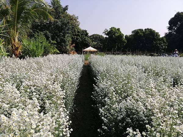 จุดเช็คอินสุดชิคแห่งใหม่ที่ไม่ควรพลาด!!สวนดอกลุงอ้าย ป้าแหม่มทุ่งดอกคัตเตอร์สีขาว อ.แม่ริม จ.เชียงใหม่ บานสวยสะพรั่ง
