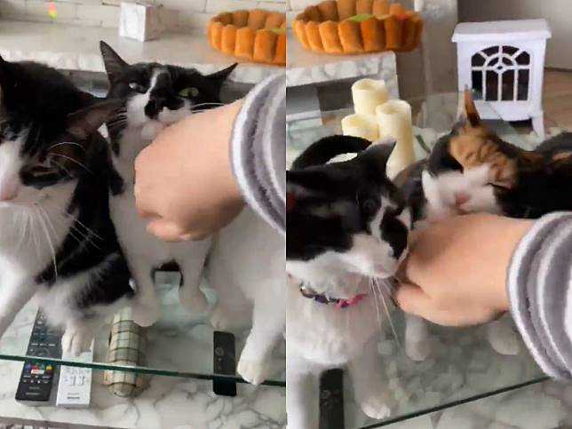 日本推主新創「波浪擼貓法」 群貓爭相嗲吼簇擁網羨煞!