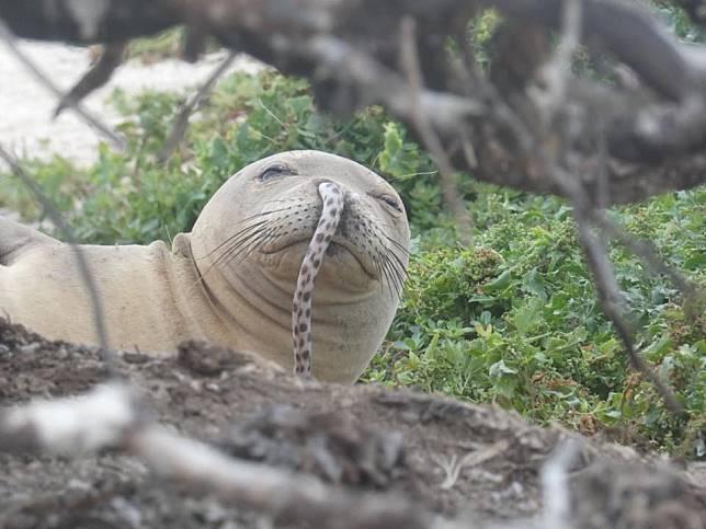 ▲夏威夷僧海豹鼻子跑入一條鰻魚,研究人員推測兩種可能原因。(圖/臉書)