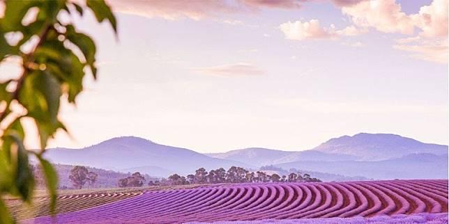 塔斯曼尼亞北部的飄絲薰衣草莊園,每年12月至2月初可欣賞到約65萬株薰衣草。(互聯網)