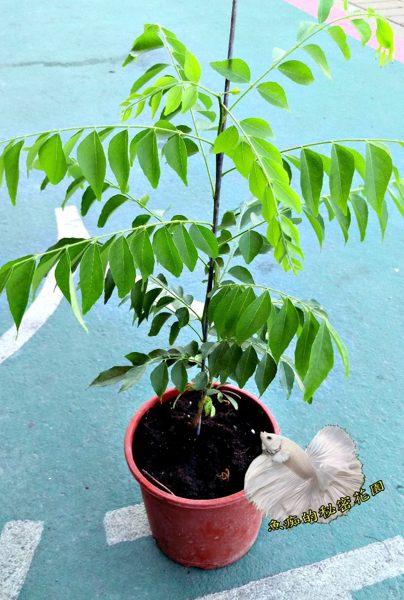 [5吋咖哩樹 咖哩葉為咖哩原料] 吋盆活體香草植物盆栽, 可食用可泡茶