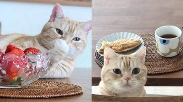 總是想偷吃一口!日本可愛小橘貓「茶太郎」融化網友的心 最愛擺姿勢與美食拍照!