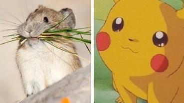 來自高原的「鼠兔」發動賣萌攻勢!可愛的模樣不知道跟皮卡丘有沒有什麼關係...