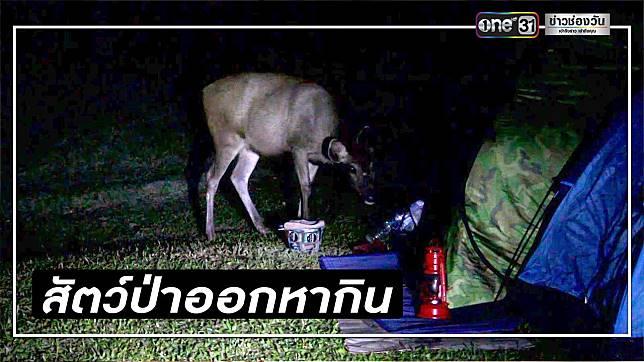 เขาใหญ่เตือน นทท. อย่าวางอาหารนอกเต็นท์ สัตว์ป่าชอบหากิน