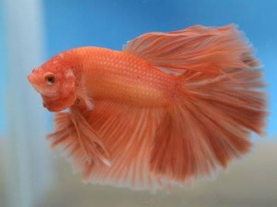 Ikan Cupang Hewan Air Tawar Yang Agresif Cantik Dan Hidup Lebih Lama