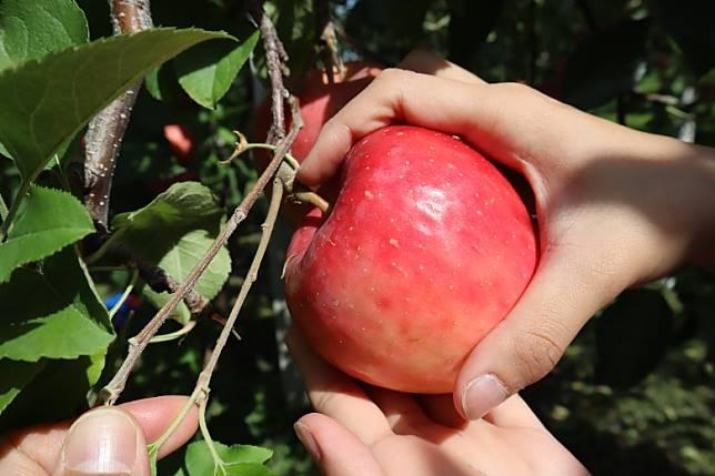 惟要小心斷果椗,要離蘋果對上幾吋,切勿亂扭。(劉達衡攝)