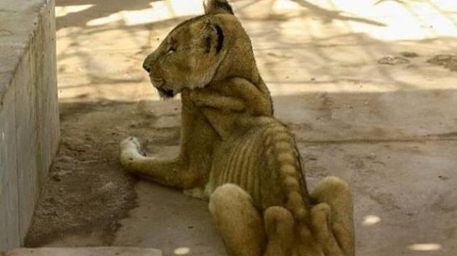 Nasib singa Afrika di Sudan. (Foto: AFP / via BBC)