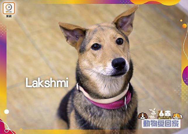 Lakshmi最喜歡跟人類玩,牠會因你跟其他狗狗玩而呷醋。(愛協提供)