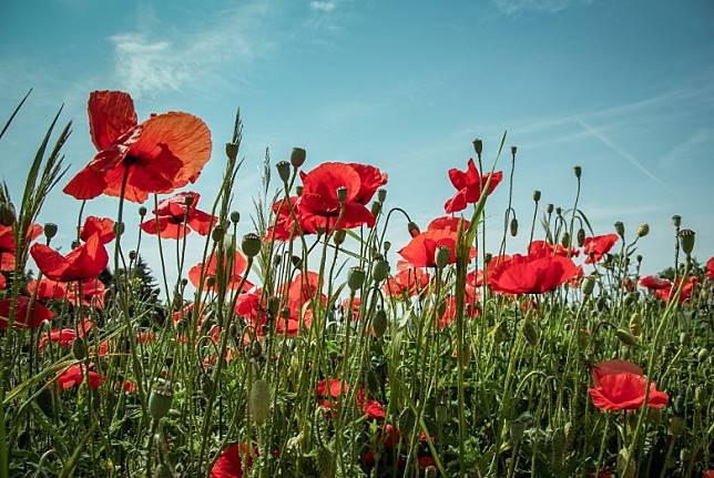 在第一次世界大戰最慘烈的戰場法蘭德斯,正是虞美人花盛開之地。(互聯網)