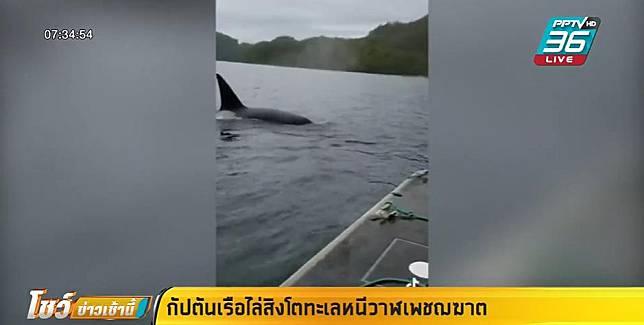 กัปตันเรือไล่สิงโตทะเลหนีวาฬเพชฌฆาต