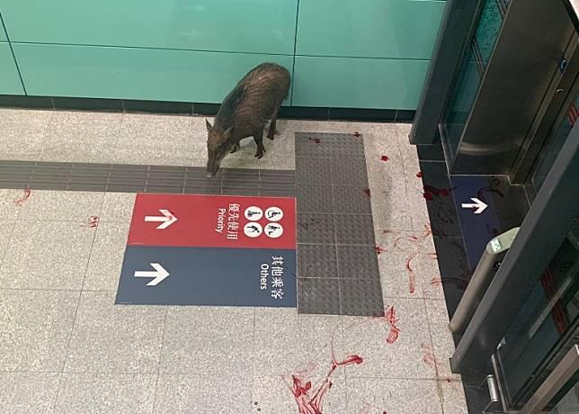 野豬被圍困於升降機前,地上血漬斑斑。
