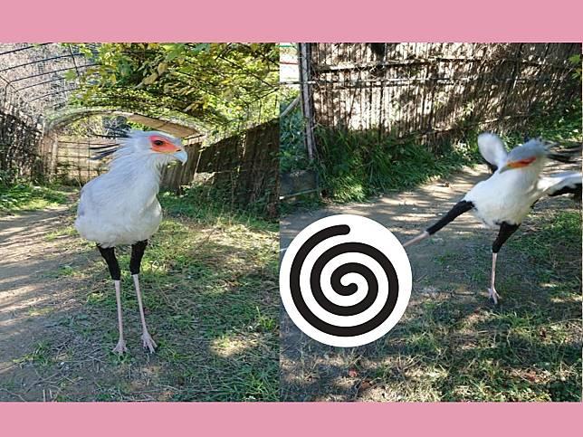 鳥界志玲蛇鷲看見枕頭 展翅開踹網笑翻:搗年糕就靠牠了!