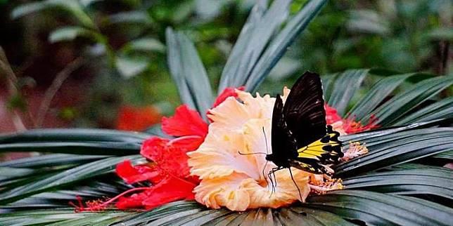Kupu-kupu jenis Troides di penangkaran Taman Kupu-kupu Gita Persada, Bandar Lampung, awal Juli 2016. Kawasan di kaki Gunung Betung seluas 4,6 hektar itu dulunya lahan kritis dampak pembalakan dan perambahan liar yang direhabilitasi menjadi taman kupu-kupu. (KOMPAS/Vina Oktavia)