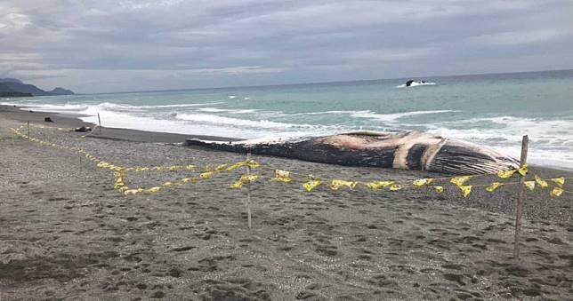 24公尺長鬚鯨身亡台東海灘 研究人員查死因