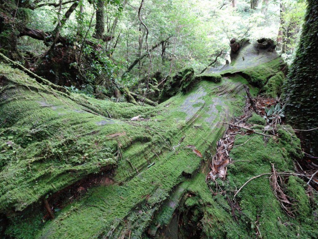 夏天就到屋久島享受神秘大自然!一窺世界遺產精選景點 4