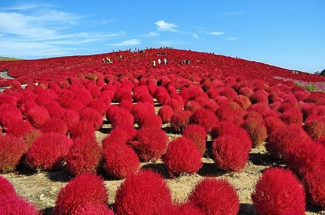 在10月中旬至下旬,常陸海濱公園便長滿可愛的紅葉掃帚草!(互聯網)