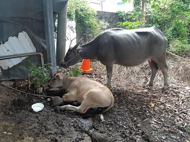 台11線女騎士撞牛身亡 台東警尋線找到「肇逃」牛隻